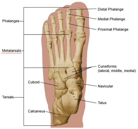 foot (anatomy), Human Body