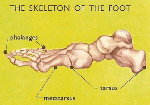 bones of the foot, seen from the side