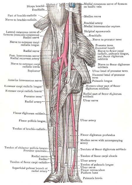 Muscles, vessels, and nerves of the forearm