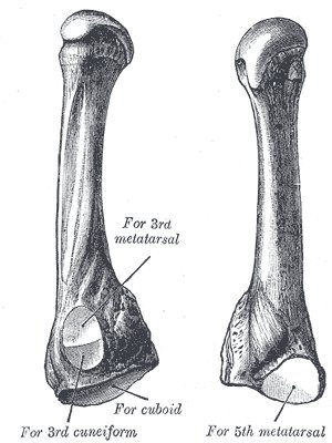 fourth metatarsal