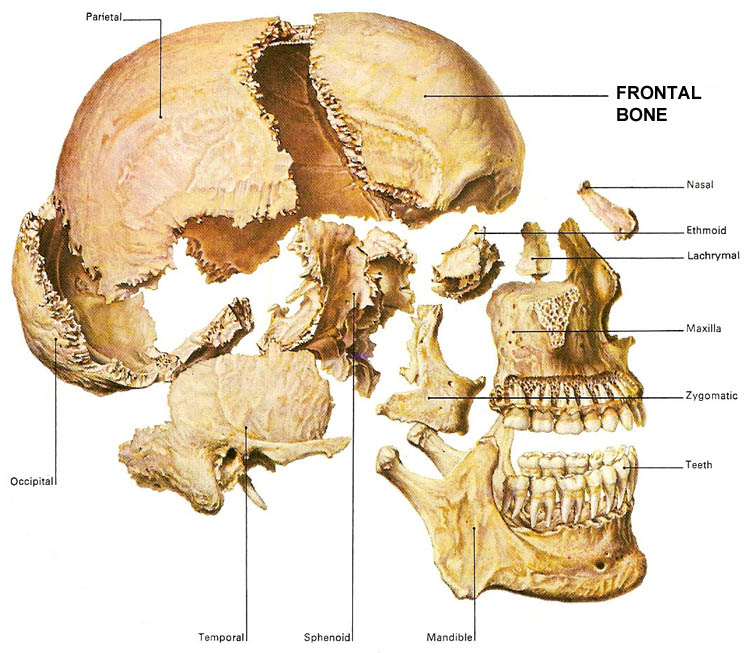 frontal_bone, Human Body