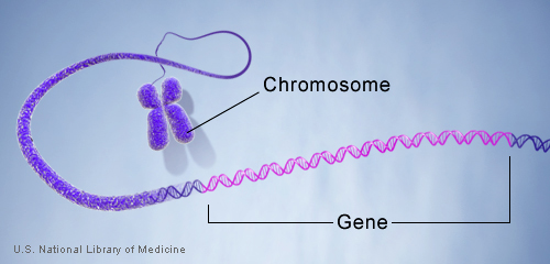 Genes are made up of DNA. Each chromosome contains many genes