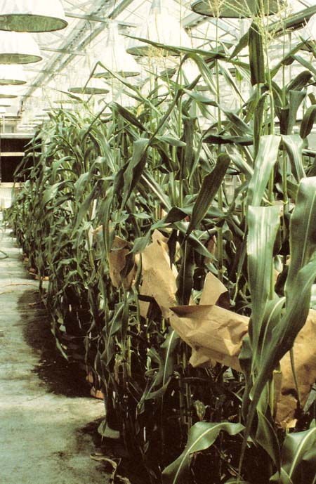 genetically-engineered corn