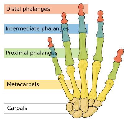 fingerled anatomi