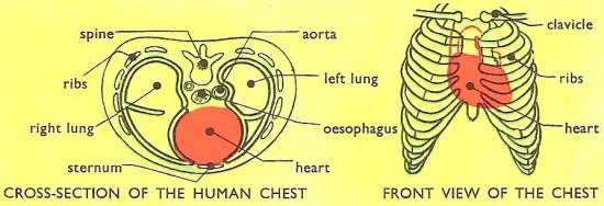 location of human heart