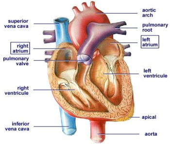 Heart of a rat diagram wiring diagram animals compare contrast rat to human rh hannahbio11 blogspot com frog heart diagram rat circulatory system ccuart Image collections