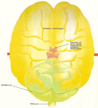 Vertebrate nervous system ccuart Images