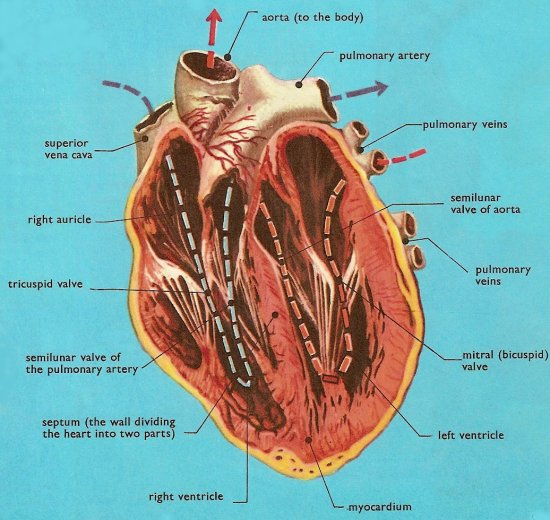 human heart, cross-section from the front