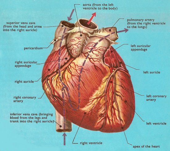 human heart, front view