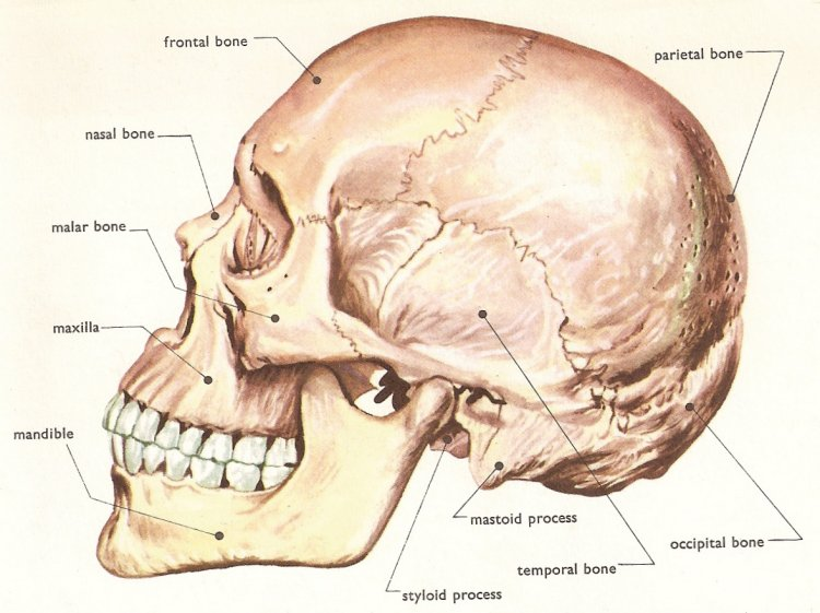 human anatomy skeleton. human skull, side view