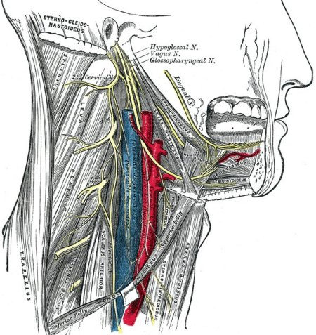 hypoglossal nerve, cervical plexus, and their branches