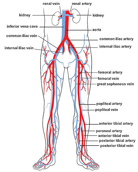 iliac arteries, Human Body