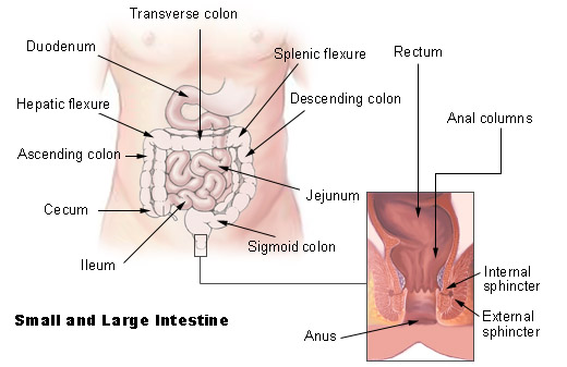 large and small intestines