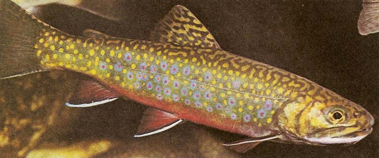Brook trout and its prominent lateral line