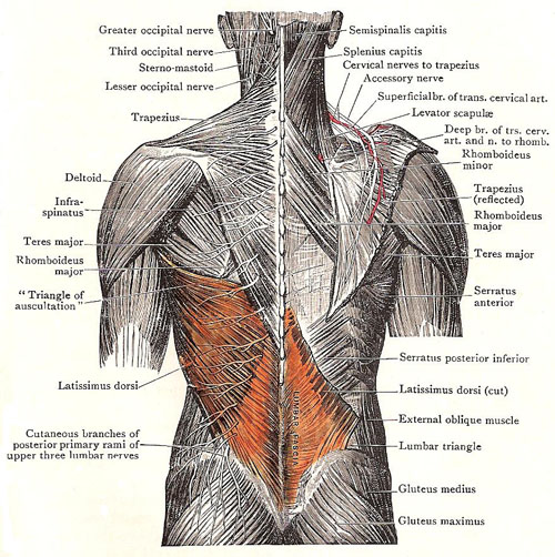 Superficial muscles of the bac