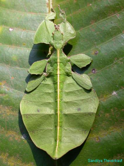 Camouflage of a leaf insect