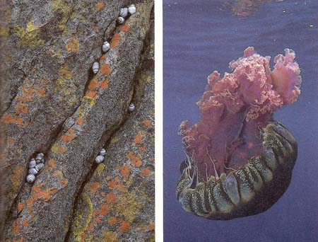 lichen and jellyfish: examples of simple life formss