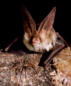 long-eared bat