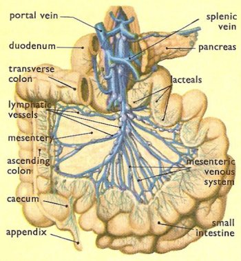 lymphatic vessels in the mesentery