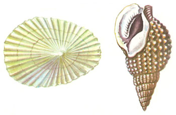 Marine gastropods: limpet and netted dog-whelk