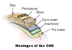 meninges of the central nervous system