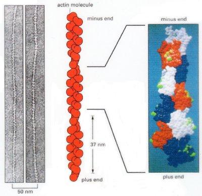 microfilament structure