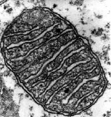 photo of a mitochondrion