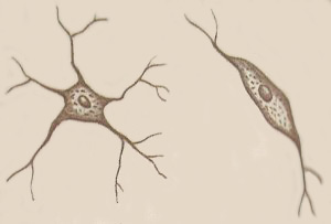 multipolar (left) and bipolar neurons