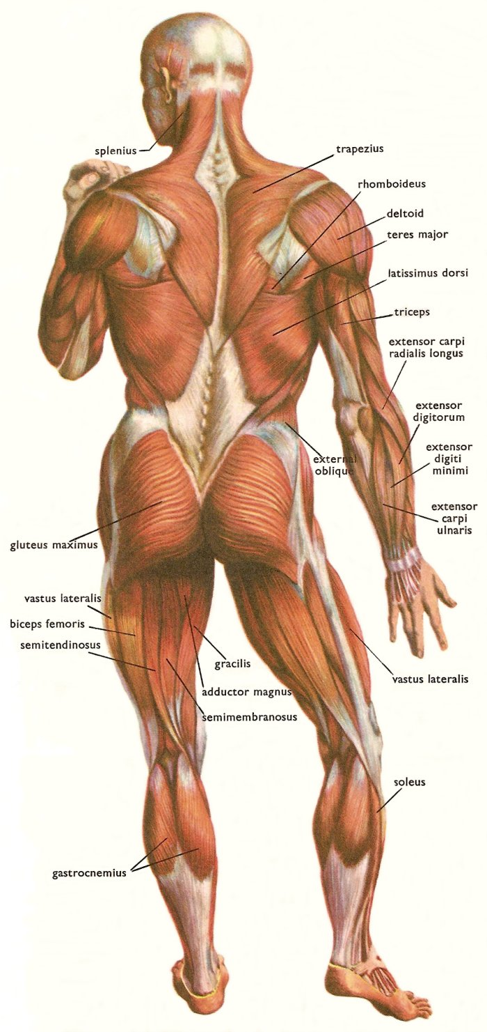 muscles at the back of the human body