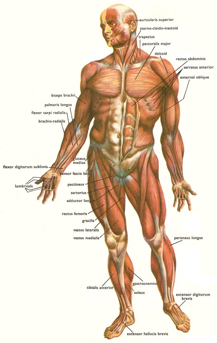 muscles at the front of the human body