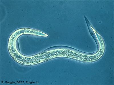 A plant nematode