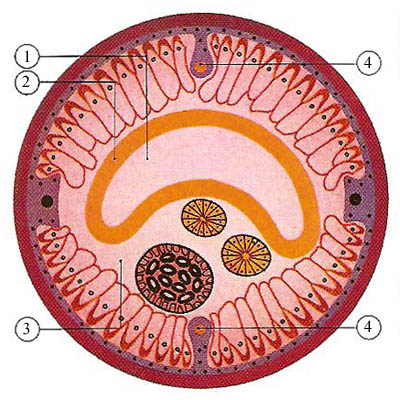 cross-section of a female Ascaris nematode