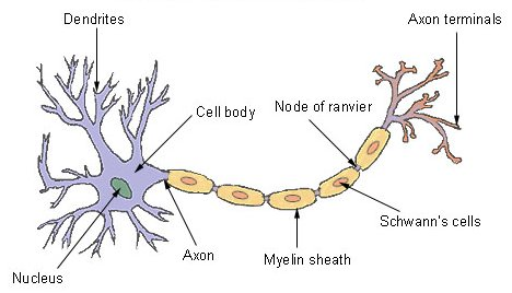 General structure of a typical neuron