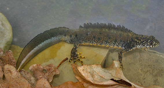 Great Crested Newt</em>