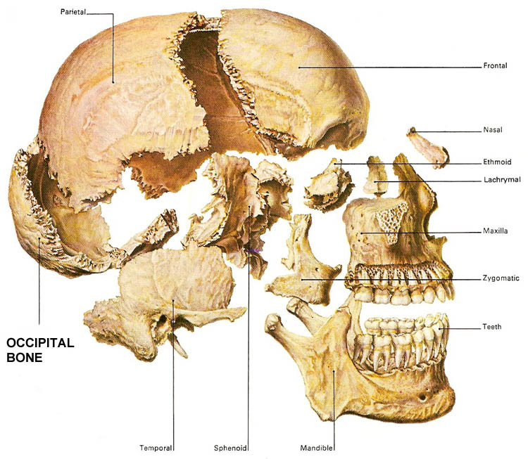 bones of the skull with occipital bone highlighted