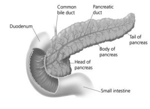 pancreas, common bile duct, and small intestine