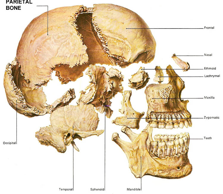 parietal_bone, Human Body