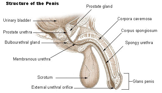 structure of the human penis
