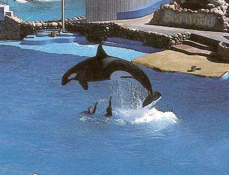 performing killer whale