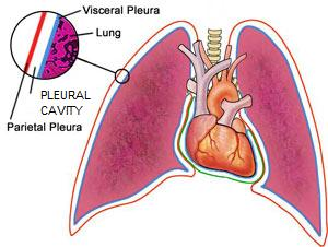 pleural_cavity, Human Body