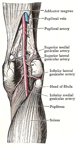 right popliteal artery and its branches