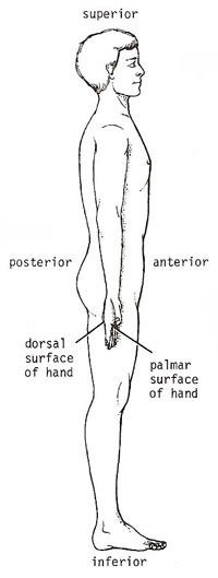 anterior, posterior, superior, and inferior