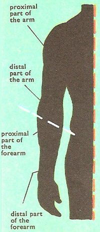 proximal and distal