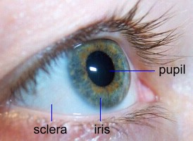 pupil, iris, and sclera