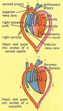 reptilian heart and circulation
