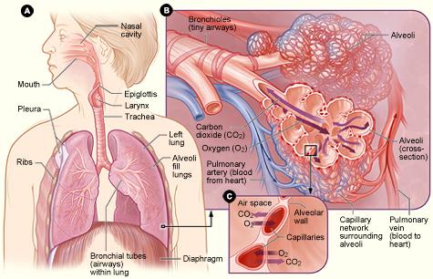 external image respiratory_system.jpg