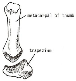 saddle joint: carpometacarpal joint