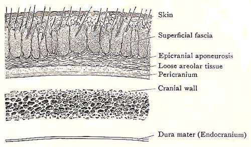 section through the scalp and cranial wall