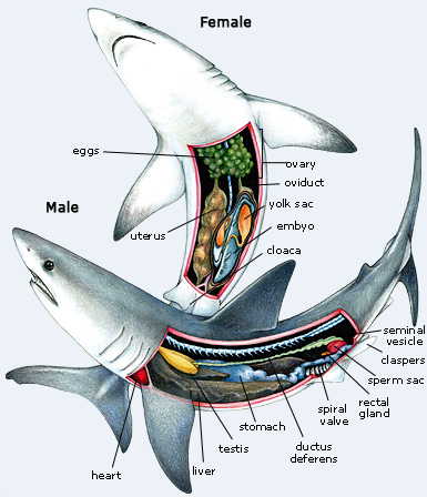 shark anatomy