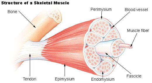 skeletal_muscle, Muscles